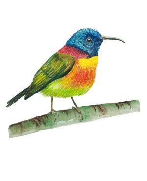 Tropical Sunbird